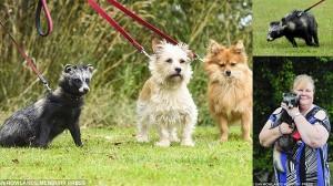 イギリスで、犬とともに暮らすタヌキのバンデットくん!!