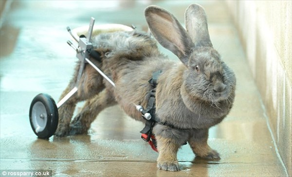 半身不随のウサギ 車椅子によってウィリー走行のできる第二の人生を手に入れる