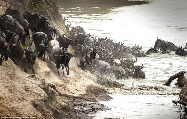 大迫力な自然の営み! 大移動をするヌーを捕食するクロコダイル!