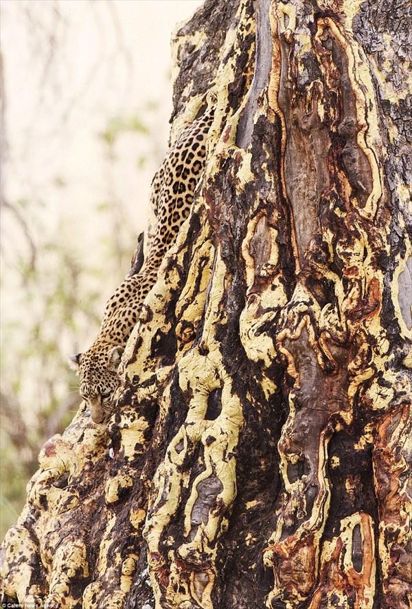 ヒョウ柄は派手な模様じゃない! 木の模様にとけ込むヒョウのカモフラージュ!