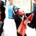 中国の動物公園でおこなわれている「熊ボクシング」 当然ながら非難轟々!