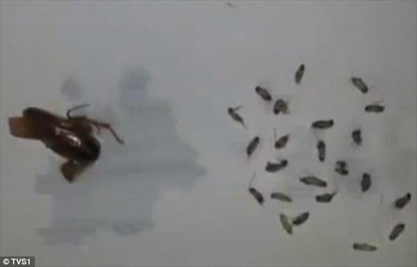 中国人男性の耳に棲みついたゴキブリ 耳の中で卵が孵化して合計26匹を摘出!