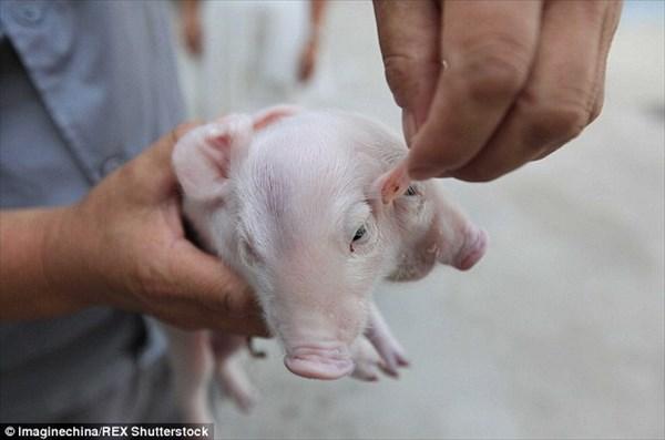 中国の仏教寺院に捨てられていた双頭の子豚 心優しい通行人によって育てられる