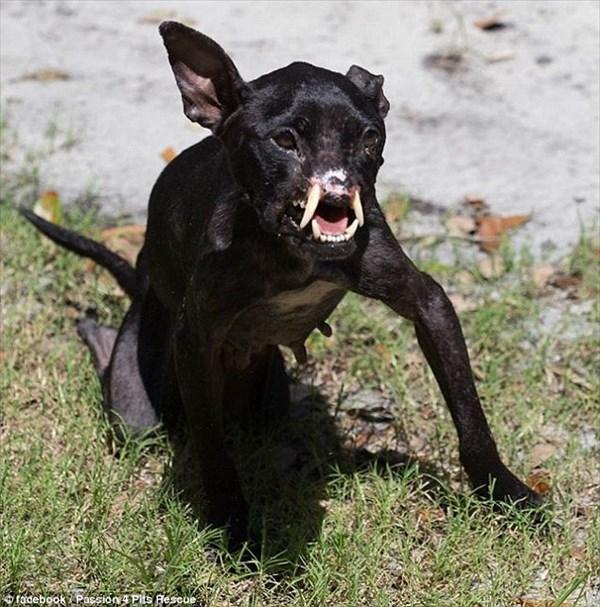 セイウチ犬の「カレッシ」 顔の再建手術によって新しい顔を手に入れる!