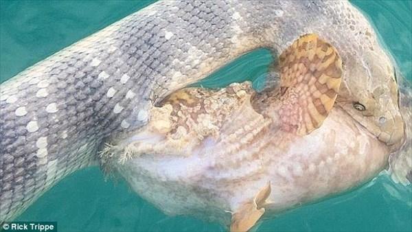 ウミヘビVSオニダルマオコゼ! お互いに噛み付くも、たがいの毒で両者死亡