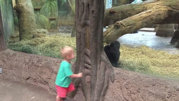Catch Me If You Can!幼児と赤ちゃんゴリラの追いかけっこ