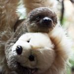 赤ちゃんナマケモノ 母乳が出なくなった母親の代わりにクマのぬいぐるみが母に