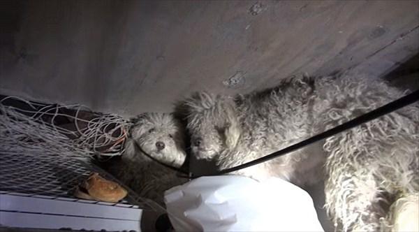 下水道で生活していたプードルの兄妹ペプシとコーラ 保護され2匹一緒に里親募集