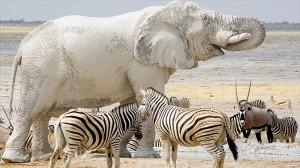 「巨大な白いオバケ」と呼ばれている珍しい白いゾウ!