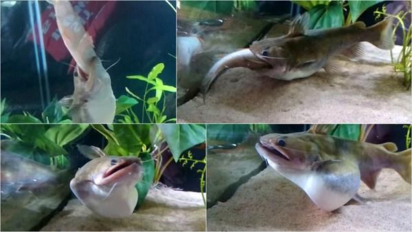 腹パンパン! 自分とほぼ同じ大きさの魚を食べるナマズ(バトラクスキャット)