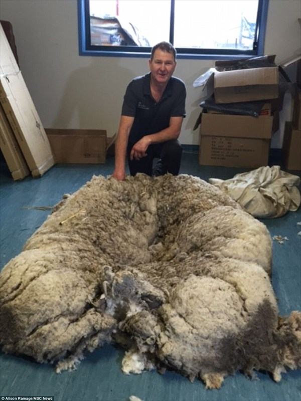 史上最大の羊!? 脱走し毛が伸び続けた羊、42.5キロの羊毛を刈られる!