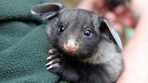 コウモリ?ウサギ? 生後4ヶ月のオオフクロモモンガ「バンジョー」が可愛い!
