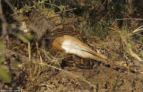 残酷だけど、これが自然の摂理! アンテロープを丸飲みにするニシキヘビ!!