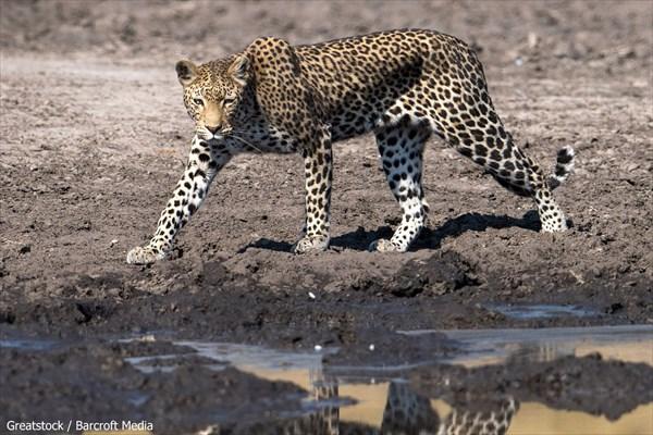 泥で真っ黒! 泥んこになりながらナマズを捕食するヒョウ!!