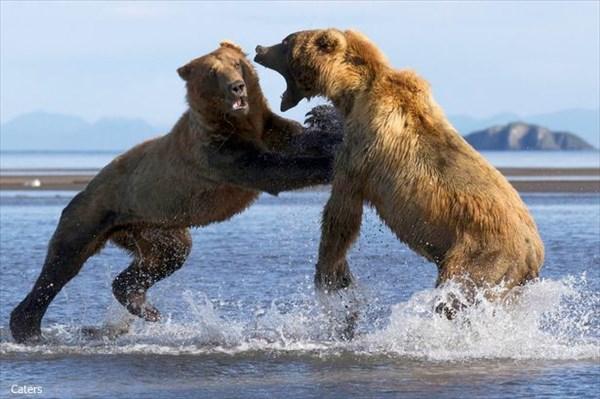 クマVSクマ! 「この鮭だけは渡さない!」鮭をめぐるグリズリー同士の激闘