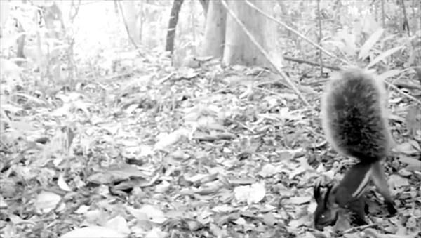 史上初! 吸血リス(フサミミクサビオリス)の映像! 伝説ではシカを食い殺す