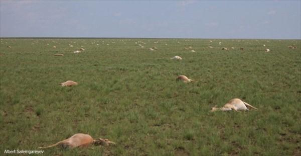 4日間で6万頭の絶滅危惧種サイガが死亡 その原因は本来無害のはずの細菌!?