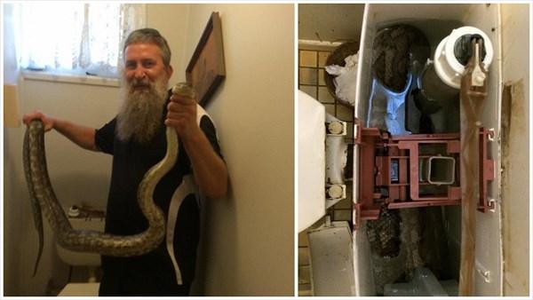 トイレの便器に3メートルのニシキヘビ! スネークハンターが出動!!