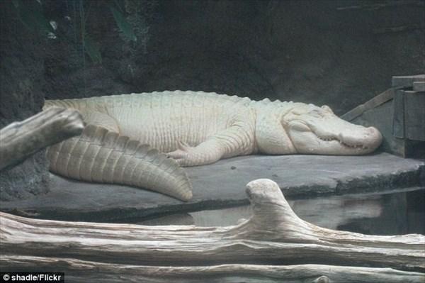 アメリカの水族館で飼育されていた白変個体の白いワニ 28歳で亡くなる
