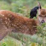 イギリスの公園で、子ジカの耳掃除をしてあげるカラスが撮影される!!