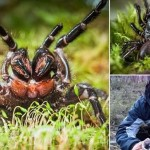寿命は最大30年! 猛毒を持つ世界最強の蜘蛛「ジョウゴグモ」の新種発見!