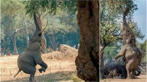 「キリンなんて目じゃないね!」 背伸びをするゾウが撮影される!!