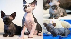 2種類の新しい品種の猫が誕生! 品種名は「スフィンクスボブ」と「バムボブ」