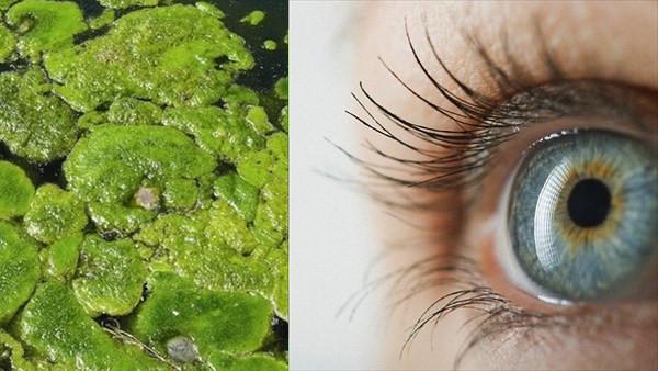 藻で失明が治る!? 藻の光感受性タンパク質を移植する臨床試験、年内実施予定