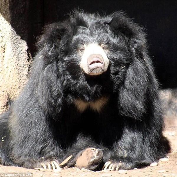 ナマケグマのゴフ パートナーの死から4日後、あとを追うように亡くなる