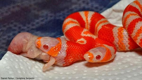双頭のヘビの「メデューサ」 フリークスショーの主催者が600万で購入!