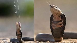噛むだけじゃない!遠距離攻撃も可能! ドクハキコブラの猛毒噴射シーンを激写
