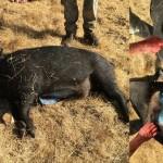 青色色素が原因!? カリフォルニア州で体内が青色の野生ブタが捕獲される!