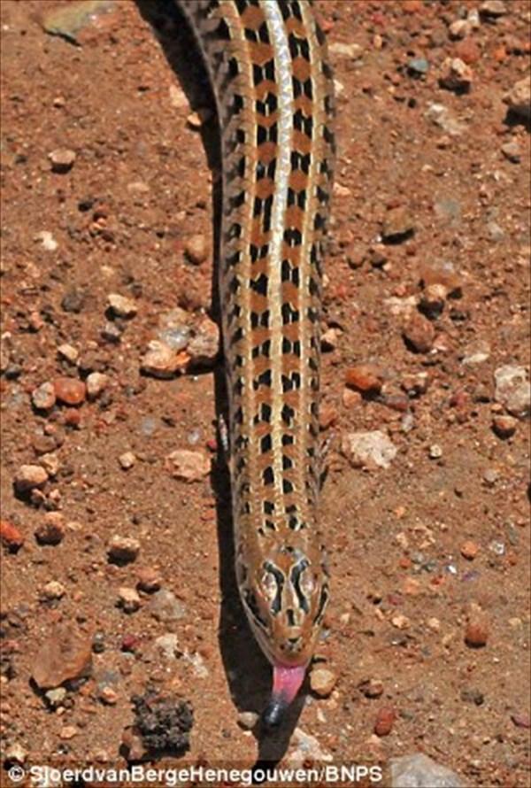 史上初の写真! 超珍しいヘビそっくりのトカゲ! よく見ると小さい手足が!
