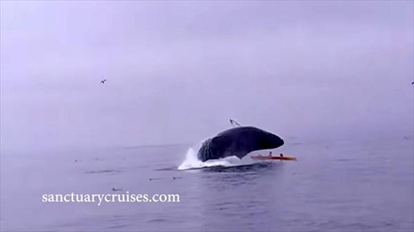 ザトウクジラが、カップルが乗るカヤック目がけてボディーアタック!!