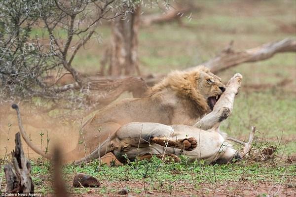 ライオン超かっこいい! 交尾を邪魔されたオスライオン メスが見守る前で激闘