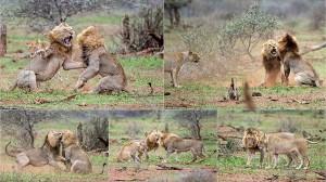 ハードボイルド! 交尾を邪魔されたオスライオン メスが見守る前で激闘!!