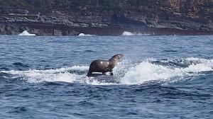 ザトウクジラの背中に乗ってサーフィンをするアシカが撮影される!!