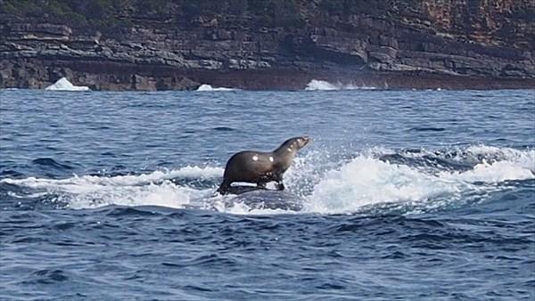 ザトウクジラの背中に乗ってサーフィンをするオットセイが撮影される!!