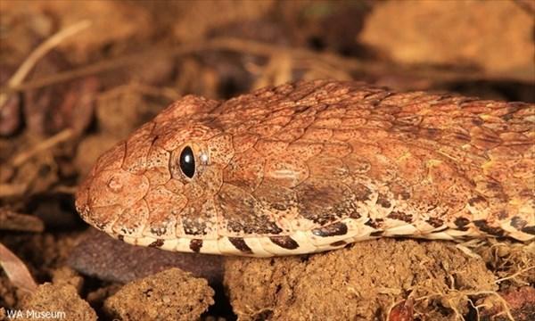 新種の毒蛇「キンバリー・デス・アダー」発見! 噛まれればマヒや死亡の可能性