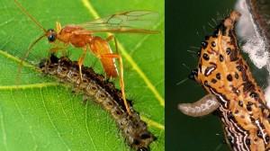 ハチが遺伝子組み換え技術を!? 寄生蜂は蝶の幼虫に自分のDNAを組み込む!