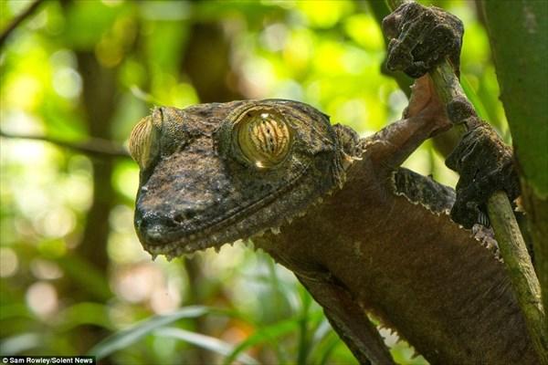 カエルのカーミットに激似! 超陽気なマダガスカルの「フリンジヘラオヤモリ」