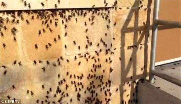 性欲に飢えたコオロギ! アメリカ・テキサス州の町に大量のコオロギが出現!!