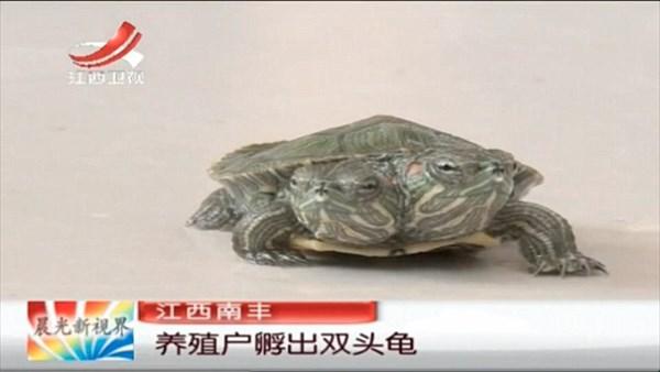 中国の養殖場で双頭のミドリガメが生まれる! 健康体で両方の口から食事が可能