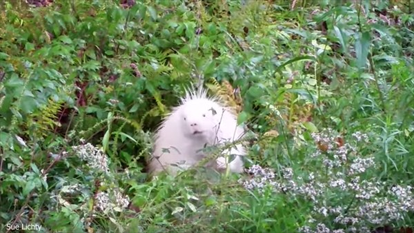1万分の1の確率! アメリカでアルビノの白いヤマアラシが発見される!