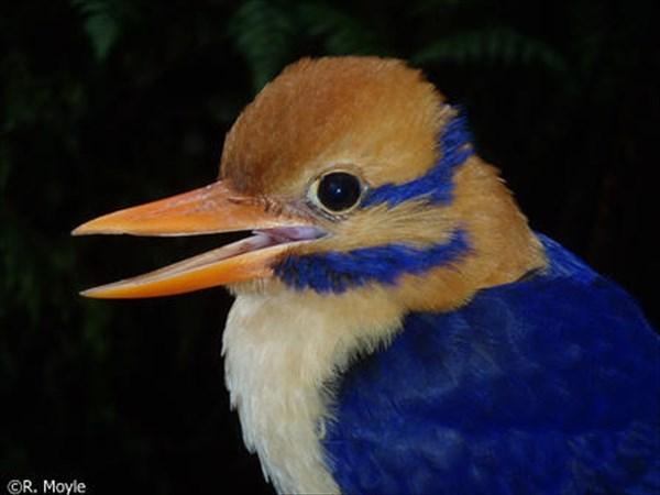 捜索期間20年!幻の鳥のオスを捕獲 過去メス3羽の発見のみでオスは史上初!