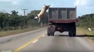 「俺は生きるぞォー!」 屠殺場に向かうトラックから勇敢にジャンプするブタ!