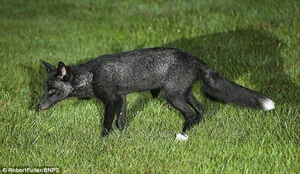 何度か目撃例のあったイギリスの黒いキツネ ついに高精細な写真で撮影される!