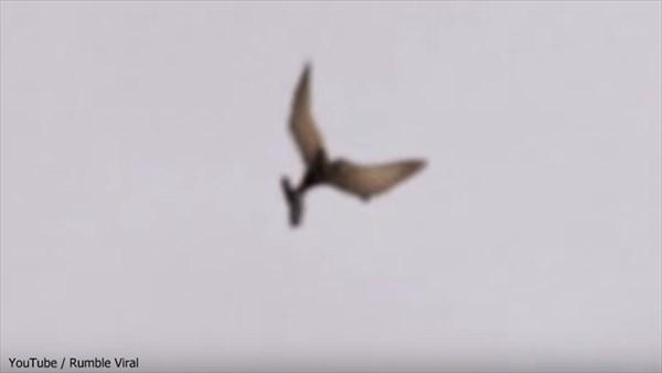 作り物?恐竜の生き残り? アメリカで翼竜(プテラノドン)らしき生物を撮影!
