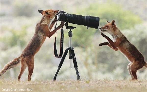 カメラを使って記念撮影をしているかのようなキツネが撮影される!