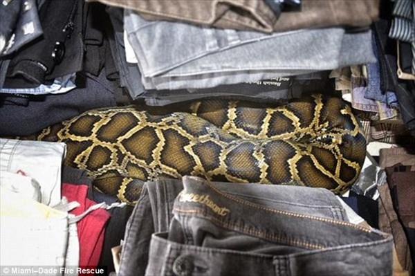 フリーマーケットで古着の中から巨大なニシキヘビが出てくる!